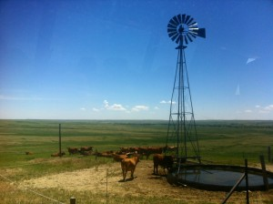 100% grass-fed cattle at the Lasater Ranch, Colorado