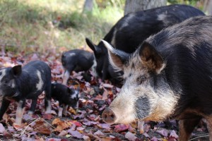 Ossawbaw pigs, a heritage breed