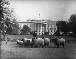 Sheep grazing outside the White House during the Woodrow Wilson presidency