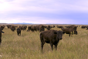 Wild Idea Buffalo Co. is among a small group of ranches raising bison entirely on grass. (Photo courtesy of Wild Idea)